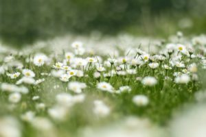 flower meadow, daisy, nature